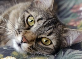 Is your cat at risk for diabetes?