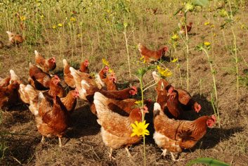 organic hens