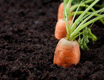 soil carrots gardening
