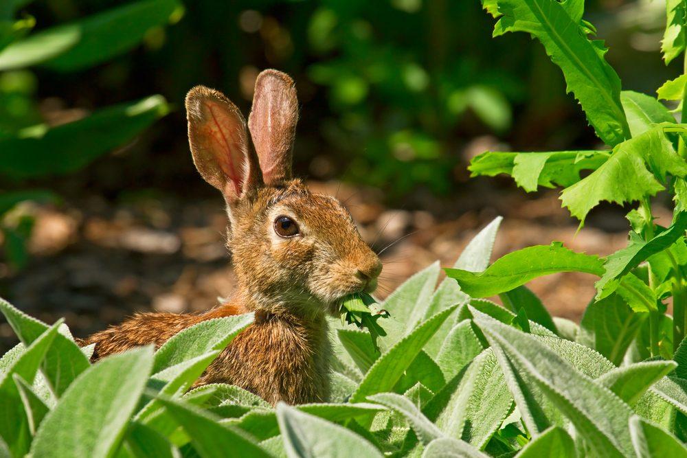 rabbit-in-garden