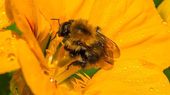 sustainable bee garden, a bee pollinating a nasturtium