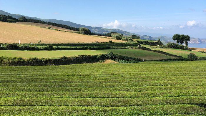 beautiful azores islands, Gorreana tea plantation
