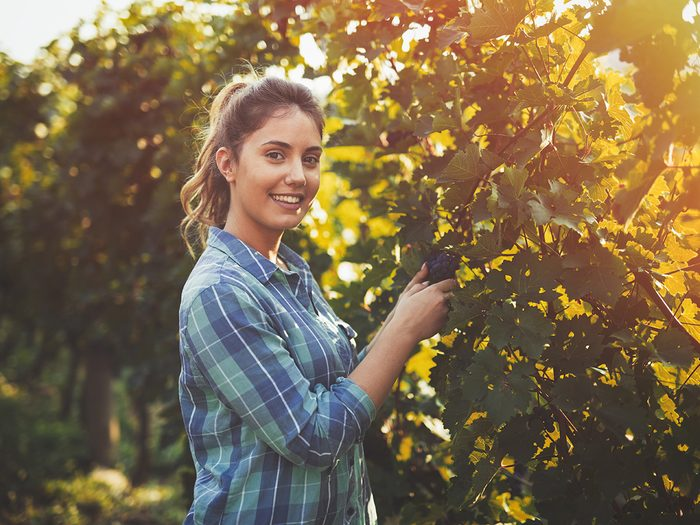 Young woman touching wine grapes in vineyard