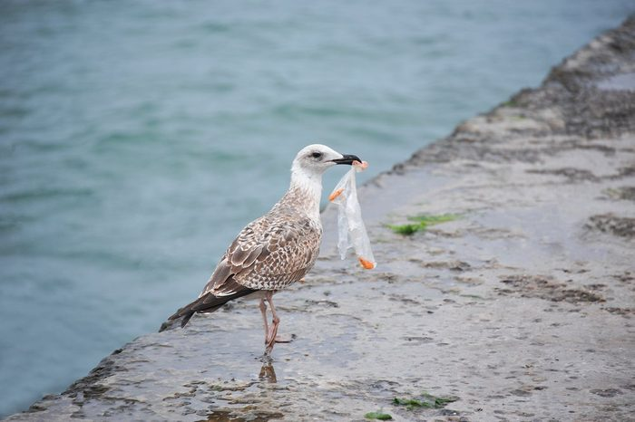 Big seagull with plastic bag on old pier