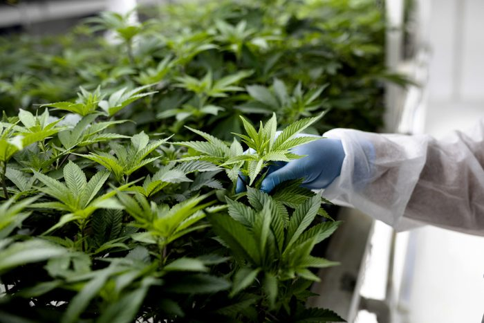 what is hemp   close up of a technician inspecting the leaves of cannabis plants