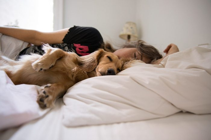 dog sleeping in bed   Long Haired Dachshund Sleeping In Bed With His Human
